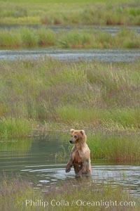 Brown bear walks through the marshes that skirt the Brooks River, Ursus arctos, Katmai National Park, Alaska