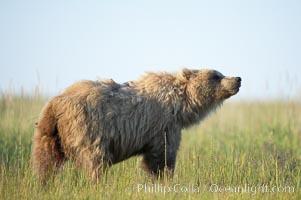 Young coastal brown bear in sedge grass meadow, Ursus arctos, Lake Clark National Park, Alaska