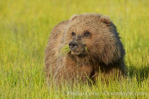 Young brown bear grazes in tall sedge grass.  Brown bears can consume 30 lbs of sedge grass daily, waiting weeks until spawning salmon fill the rivers. Lake Clark National Park, Alaska, USA, Ursus arctos, natural history stock photograph, photo id 19244