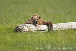 Lazy brown bear naps on a log, Ursus arctos, Lake Clark National Park, Alaska