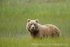 Coastal brown bear in meadow.  The tall sedge grasses in this coastal meadow are a food source for brown bears, who may eat 30 lbs of it each day during summer while waiting for their preferred food, salmon, to arrive in the nearby rivers, Ursus arctos, Lake Clark National Park, Alaska
