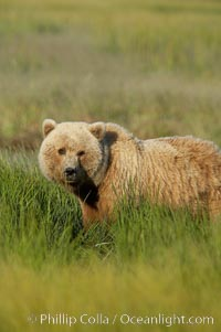Brown bear (grizzly bear). Lake Clark National Park, Alaska, USA, Ursus arctos, natural history stock photograph, photo id 19260