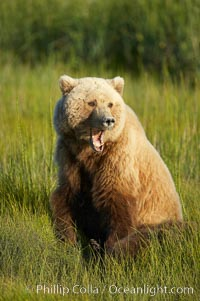 Brown bear female adult yawning.  Grizzly bear, Ursus arctos, Lake Clark National Park, Alaska