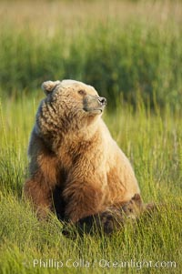 Mother brown bear sow sniffs the air, on alert for any approaching bear that may pose a threat to her three spring cubs asleep in the grass beside her, Ursus arctos, Lake Clark National Park, Alaska