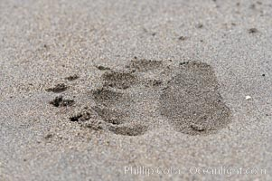 Brown bear paw print on sand. Lake Clark National Park, Alaska, USA, natural history stock photograph, photo id 19082
