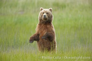 A brown bear mother (sow) stands in tall sedge grass to look for other approaching bears that may be a threat to her cubs, Ursus arctos, Lake Clark National Park, Alaska