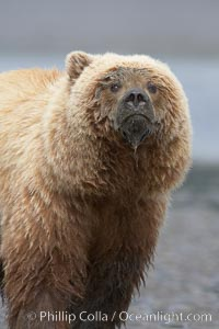 Coastal brown bear on sand flats at low tide, Ursus arctos, Lake Clark National Park, Alaska