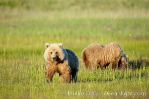 Juvenile brown bears near Johnson River.  Before reaching adulthood and competition for mating, it is common for juvenile brown bears to seek one another for companionship after leaving the security of their mothers, Ursus arctos, Lake Clark National Park, Alaska