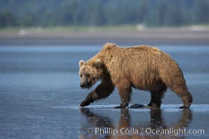 Brown bear walks on tide flats.  Grizzly bear. Lake Clark National Park, Alaska, USA, Ursus arctos, natural history stock photograph, photo id 19174