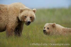 Mother and cub brown bear, Ursus arctos, Lake Clark National Park, Alaska