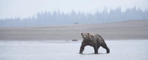 Mature male coastal brown bear boar waits on the tide flats at the mouth of Silver Salmon Creek for salmon to arrive.  Grizzly bear. Lake Clark National Park, Alaska, USA, Ursus arctos, natural history stock photograph, photo id 19178