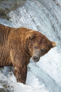 A large, old brown bear (grizzly bear) wades across Brooks River. Coastal and near-coastal brown bears in Alaska can live to 25 years of age, weigh up to 1400 lbs and stand over 9 feet tall, Ursus arctos, Katmai National Park
