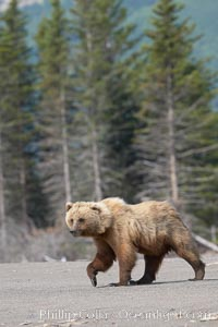 Coastal brown bear walking on sand beach, Ursus arctos, Lake Clark National Park, Alaska
