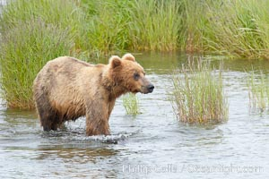 Brown bear walks through the marsh that edges Brooks River, Ursus arctos, Katmai National Park, Alaska