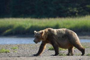 Brown bear paces alongside Silver Salmon Creek, Ursus arctos, Lake Clark National Park, Alaska