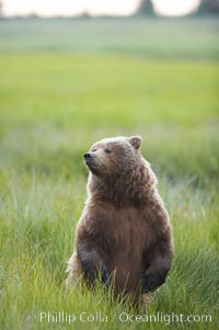 Young brown bear stands in tall sedge grass to get a better view of other approaching bears, Ursus arctos, Lake Clark National Park, Alaska