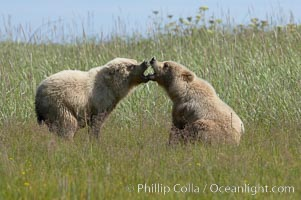Brown bear cubs at play, Ursus arctos, Lake Clark National Park, Alaska