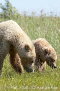 Mother brown bear sow and her one and a half year old cub graze on sedge grass, Ursus arctos, Lake Clark National Park, Alaska