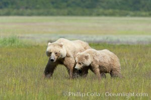 Mother and cub coastal brown bear in sedge grass meadow, Johnson River, Ursus arctos, Lake Clark National Park, Alaska