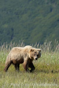 Juvenile coastal brown bear in sedge grass, Johnson River. Grizzly bear, Ursus arctos, Lake Clark National Park, Alaska