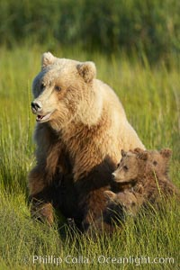 Brown bear female sow in sedge meadow, with her three spring cubs hidden by the deep grass next to her.  These cubs were born earlier in the spring and will remain with their mother for almost two years, relying on her completely for their survival, Ursus arctos, Lake Clark National Park, Alaska