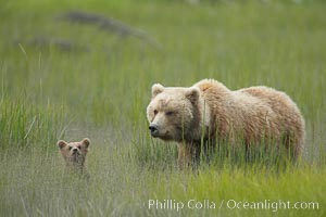 Female brown bear sow mother watches over her tiny spring cub in deep sedge grass, Ursus arctos, Lake Clark National Park, Alaska