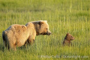 Brown bear sow (female) and her cub, born earlier this year in spring.  The cub is completely dependent on her for survival.  She will nurture it for almost two years, Ursus arctos, Lake Clark National Park, Alaska