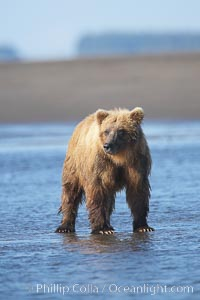 Coastal brown bear forages for salmon returning from the ocean to Silver Salmon Creek.  Grizzly bear. Silver Salmon Creek, Lake Clark National Park, Alaska, USA, Ursus arctos, natural history stock photograph, photo id 19239