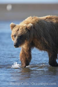 Coastal brown bear forages for salmon returning from the ocean to Silver Salmon Creek.  Grizzly bear, Ursus arctos, Lake Clark National Park, Alaska