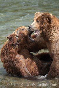 Two mature brown bears fight to establish hierarchy and fishing rights. Brooks River, Katmai National Park, Alaska, USA, Ursus arctos, natural history stock photograph, photo id 17114