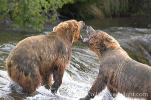 Two mature brown bears fight to establish hierarchy and fishing rights. Brooks River, Katmai National Park, Alaska, USA, Ursus arctos, natural history stock photograph, photo id 17231