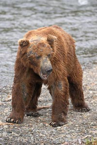 Brown bear bearing scars and wounds about its head from past fighting with other bears to establish territory and fishing rights. Brooks River. Brooks River, Katmai National Park, Alaska, USA, Ursus arctos, natural history stock photograph, photo id 17335