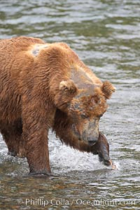 Brown bear bearing scars and wounds about its head from past fighting with other bears to establish territory and fishing rights. Brooks River, Ursus arctos, Katmai National Park, Alaska