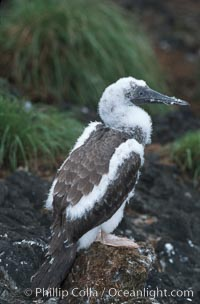 Brown booby, fledgling. Cocos Island, Costa Rica, Sula leucogaster, natural history stock photograph, photo id 05753