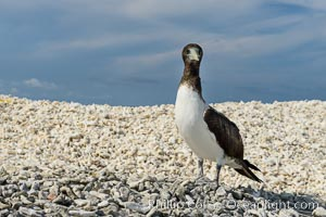 Brown booby, Clipperton island, Sula leucogaster