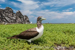Brown booby, Clipperton island. Clipperton Island, France, Sula leucogaster, natural history stock photograph, photo id 33088