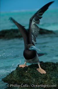 Brown booby. Rose Atoll National Wildlife Sanctuary, American Samoa, USA, Sula leucogaster, natural history stock photograph, photo id 00879