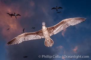 Brown booby., Sula leucogaster,  Copyright Phillip Colla, image #00914, all rights reserved worldwide.