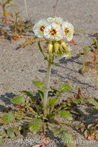 Brown-eyed primrose blooms in spring in the Colorado Desert following heavy winter rains.  Anza Borrego Desert State Park, Camissonia claviformis, Anza-Borrego Desert State Park, Borrego Springs, California