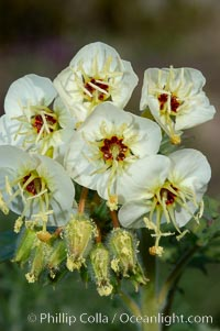 Brown-eyed primrose blooms in spring in the Colorado Desert following heavy winter rains.  Anza Borrego Desert State Park, Camissonia claviformis, Anza-Borrego Desert State Park