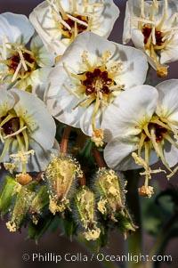 Brown-eyed primrose blooms in spring in the Colorado Desert following heavy winter rains.  Anza Borrego Desert State Park, Camissonia claviformis, Anza-Borrego Desert State Park, Borrego Springs, California