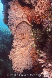 Brown gorgonians, Muricea fruticosa, Catalina Island