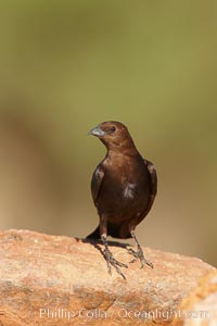 Brown-headed cowbird, male, Molothrus ater, Amado, Arizona