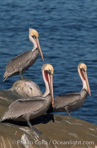 Brown pelican, adult non-breeding plumage with white hindneck and red gular throat pouch, Pelecanus occidentalis, Pelecanus occidentalis californicus, La Jolla, California