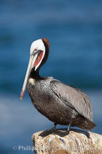 Brown pelican.  This large seabird has a wingspan over 7 feet wide. The California race of the brown pelican holds endangered species status, due largely to predation in the early 1900s and to decades of poor reproduction caused by DDT poisoning.  In winter months, breeding adults assume a dramatic plumage with brown neck, yellow and white head and bright red gular throat pouch., Pelecanus occidentalis, Pelecanus occidentalis californicus,  Copyright Phillip Colla, image #15123, all rights reserved worldwide.