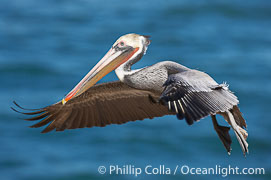 Brown pelican in flight.  The wingspan of the brown pelican is over 7 feet wide. The California race of the brown pelican holds endangered species status.  In winter months, breeding adults assume a dramatic plumage., Pelecanus occidentalis, Pelecanus occidentalis californicus,  Copyright Phillip Colla, image #15126, all rights reserved worldwide.
