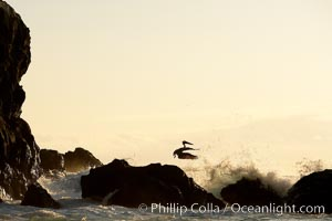 Brown pelican, waves, rocks and cliffs, sunset, Pelecanus occidentalis, Wolf Island