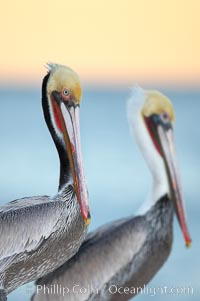 Brown pelicans, breeding plumage (left) and non-breeding adult (right), sunrise.  This large seabird has a wingspan over 7 feet wide. The California race of the brown pelican holds endangered species status, due largely to predation in the early 1900s and to decades of poor reproduction caused by DDT poisoning.  In winter months, breeding adults assume a dramatic plumage with brown neck, yellow and white head and bright red gular throat pouch, Pelecanus occidentalis, Pelecanus occidentalis californicus, La Jolla