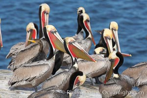 Brown pelicans rest and preen on seacliffs above the ocean.   In winter months, breeding adults assume a dramatic plumage with brown neck, yellow and white head and bright red-orange gular throat pouch. La Jolla, California, USA, Pelecanus occidentalis, Pelecanus occidentalis californicus, natural history stock photograph, photo id 18261