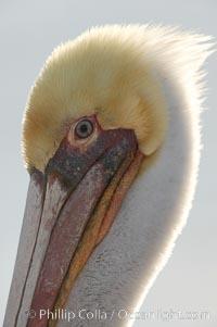 Brown pelican, plumage transitioning into breeding colors, Pelecanus occidentalis, Pelecanus occidentalis californicus, Bolsa Chica State Ecological Reserve, Huntington Beach, California